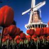 Algunos tulipanes alcistas de Holanda